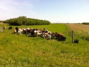 de schapen zijn erg blij met het nieuwe stukje natuurgebied, het buikje lekker rondeten en kunnen schuilen bij de bossage, net als heel vroegen!